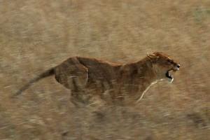 350px-Serengeti_Lion_Running_saturated