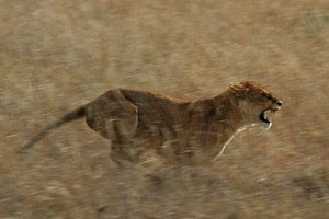 350px-Serengeti_Lion_Running_saturated